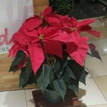 Kalidades-Poinsettia-Plant